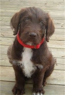 A chocolate with white on the chest Labradoodle puppy is wearing a red collar sitting on a wooden deck and looking up