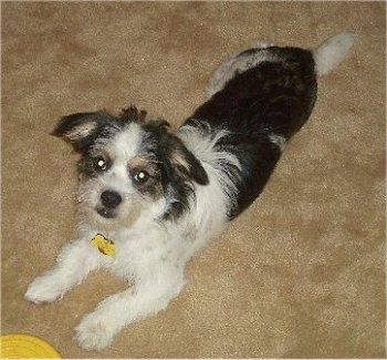 A wiry looking, tricolor, white and black with tan Pekingese/Terrier mix is laying stretched out on a tan carpet. It is looking up and in front of it is a yellow frisbee.