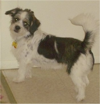 A tricolor, scruffy looking, white with black Pekingese/Terrier mix is standing on a tiled tan floor and it is looking back. It has longer hair on its tail, which is up in the air over its back.