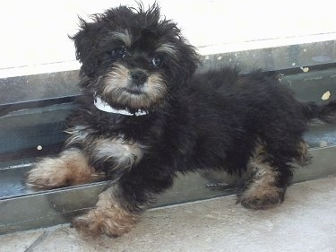 A small fluffy black and tanMauxie puppy is laying across a railing and looking to the left of its body.