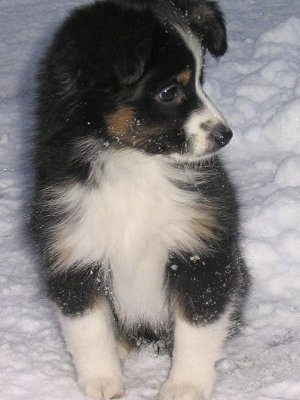 Front view - A tricolor black, tan and white Miniature Australian Shepherd puppy is sitting in snow looking to the right. There is snow all over its body.