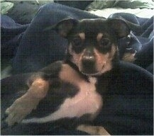 Upper body shot - a black and tan with white Minnie Jack is laying on its side on a blue blanket. It is looking forward. It has its paw up showing the white on its belly.