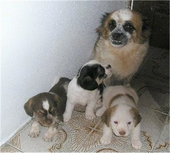 Two Pekingese mix puppies are laying and one is sitting on a white with brown tiled floor in front of its mother. The mother has a big underbite showing its white bottom teeth.