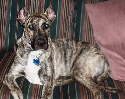 A large brown brindle Perro Cimarron dog is laying across a striped green and maroon couch. There is a plum-colored pillow behind it.