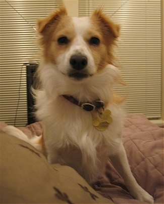 Front view - A white with tan Pom Terrier is sitting on a bed and it is looking forward. It has small triangular ears that are folded forward.