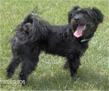 Right Profile - A black Pomapoo is standing in grass and it is looking to the left. Its mouth is open and tongue is out. It has longer fringe hair on its tail, legs and head.