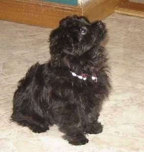 Side view - A wavy-coated, small black Pomapoo puppy is sitting on a tan tiled floor in a house and it is looking up and to the right.