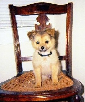 Front view - A little tan with black and white Pomchi puppy is sitting on a chair and it is looking forward.
