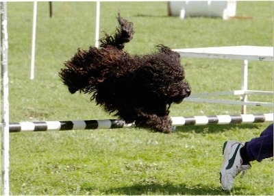 Action shot - A black Puli is jumping over an agility bar obstacle and running in front of it is a person in white sneakers.