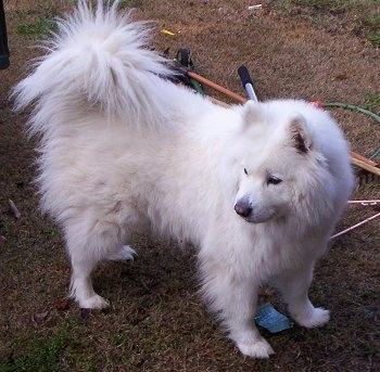 The front right side of a white Samoyed dog that is standing in brown grass and it is looking to the left.