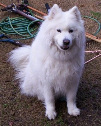 A thick coated white Samoyed is sitting in grass and it is looking up. Its mouth is slightly open and it looks like it is smirking. It has small perk ears.