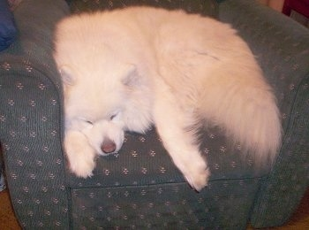 A big fluffy white Samoyed dog sleeping in an arm chair.