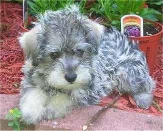 A small, wavy coated, black, grey and white Schnoodle puppy is laying in a flower bed and partially on a brick partition wall. It is looking down and to the right. There is a flower pot behind it.