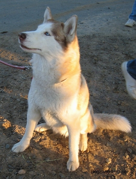 Front side view - A blue-eyed, red and white Siberian Husky is sitting on a dirt surface, it is looking up and to the left.