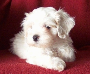 A small white Silky Cocker puppy is laying on a red blanket that is on top of a couch and it is looking to the left.