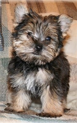 Close up - A fluffy little black with tan Snorkie puppy is standing on a couch it is looking forward and its head is slightly tilted to the right. It has perk ears.