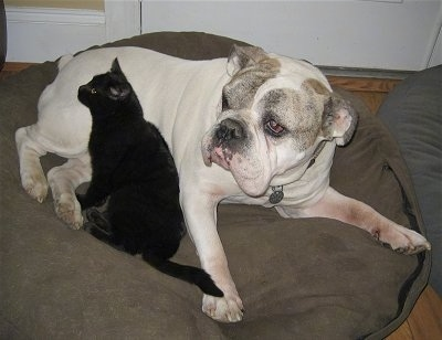 Spike the Bulldog is laying on a beidge dog bed and in his belly area is a black cat laying against him.