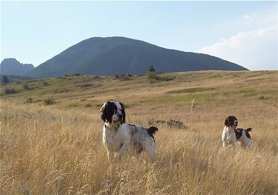 Baxter the black and white English Springer Spaniel and Boomer the liver and white English Springer Spaniel are standing in a feild of tall brown grass
