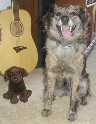 A furry black, gray and brown Texas Heeler dog sitting on a carpet next to it is a brown plush toy and behind that is a acoustic guitar. The Texas Heelers mouth is open, tongue is out and it looks like it is smiling. The dog has a brown eyes.