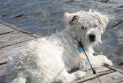 The back right side of a white Wauzer that is laying on a wooden dock and it is looking back. The dogs fur looks wet on its head. It has a black nose and its paws are over the edge of the dock.