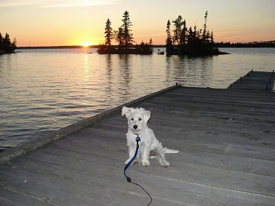 A white Wauzer puppy is sitting on a wooden dock and it is looking forward with a sunset over the water in the background.