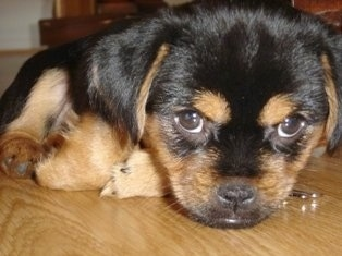 Close up - A black and tan Yorkinese puppy that is laying down on a hardwood floor and it is looking forward with its wide brown eyes.