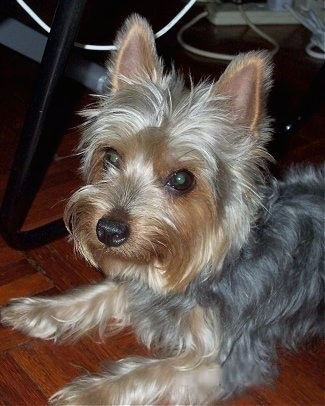 Silky Terrier Dog Breed Information And Pictures