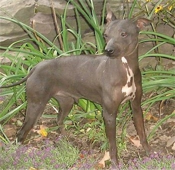 American Hairless Terrier standing next to a rock structure