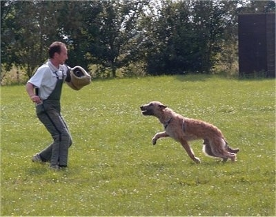 Action shot - Trouble-of Inka the Belgian Shepherd Laekenois going after a person who has a foam pad over their arm