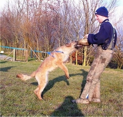 Trouble-of Inka the Belgian Shepherd Laekenois biting a foam pad a person is holding