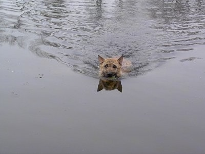 Trouble of Inka the Belgian Shepherd Laekenois going for a swim in water
