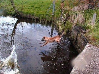 Action shot - Trouble of Inka the Belgian Shepherd Laekenois in mid-air jumping into water