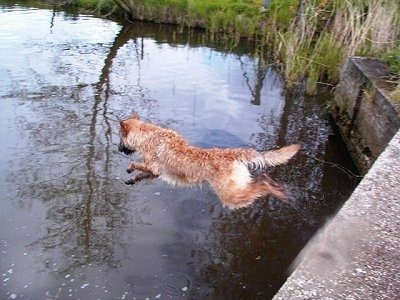 Action shot - Trouble-ofinka the Belgian Shepherd Laekenois jumping into a body of water