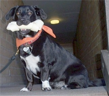 Dinah Washington Powell the black and white Corgidor is sitting at the top of a set of stairs with a rawhide bone in her mouth