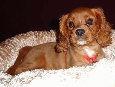 Lucky the Cavalier King Charles Spaniel puppy is sitting on a dog bed