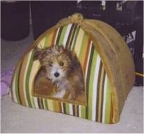 Rocky Angelo the Crustie Puppy is inside of an indoor pop tent doghouse
