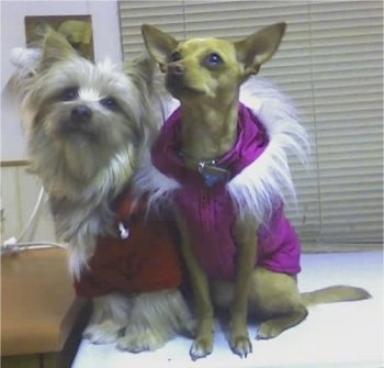 Khayman the Sikese dog and Amity the Chigi dog are sitting on a countertop wearing a purple and a red coat with white fur around the necks.