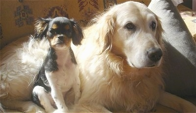 A black with white and tan English Toy Spaniel is sitting next to a laying cream Golden Retriever dog.