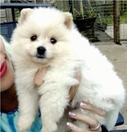 A little fluffy white German Spitz puppy is outside being held in the air by a lady who is wearing red lip stick.