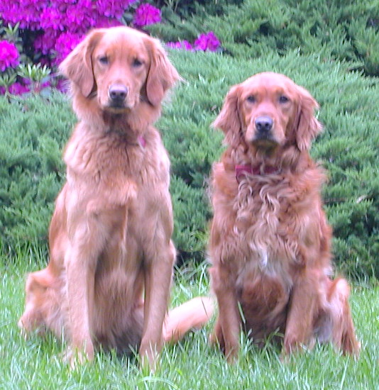 Two red colored Golden Retrievers are sitting in grass and there is an azalea bush that is blooming purple flowers behind them