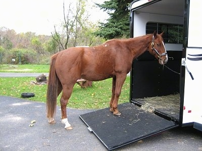 A brown with white horse is standing in a driveway and on a ramp leading onto a trailer.