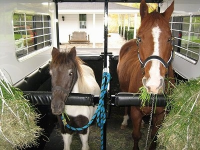 A dark brown and white paint pony is standing in a white trailer next to a brown with white Horse in front of a white farm house with a wrap around stone porch. There is grass on the sides of the trailer.