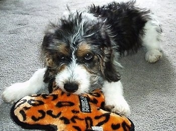 A black with white and tan Jackabee dog is laying on a tan carpet chewing on an orange and black plush toy