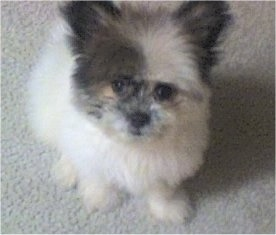 A fuzzy white with black and grey Kimola puppy is sitting on a carpet and looking up