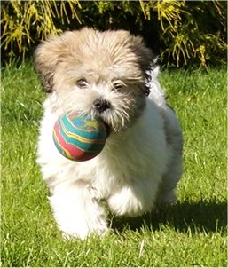 View from the front - A white with tan and black La-Chon puppy is running down grass with a colorful green, yellow, blue and red ball in its mouth