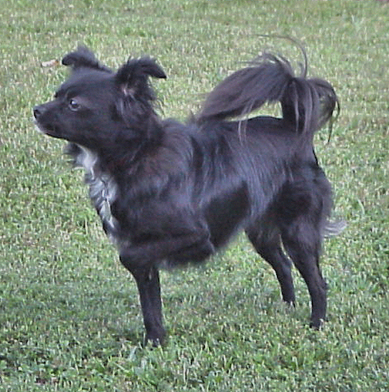 Left Profile - A black with white Chihuahua/Japanese Spitz mix is standing in grass and it is pointing with one paw up in the air and its nose forward. It's black tail has long fringe hair on it and is curled up over its back.