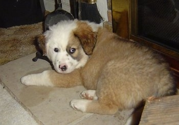 The back left side of a brown with white Australian Retriever puppy that is laying on a dog bed near a fireplace and it is looking forward.