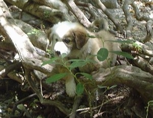 The front left side of a brown with white Australian Retriever puppy that is walking over a bunch of large tree roots