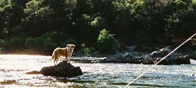 The right side of a brown with white Australian Retriever that is standing on a rock in the middle of a body of water and it is looking forward.
