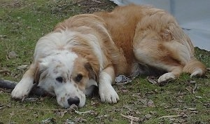 The left side of a brown with white Australian Retriever that is laying down outside overtop of a medium sized stick front view